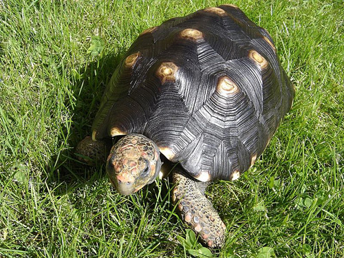 Червенокрака костенурка