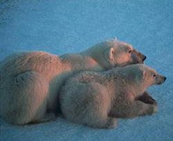 Полярни мечки