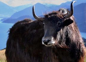 Тибетски як