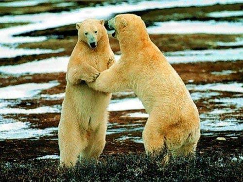 Бели мечки