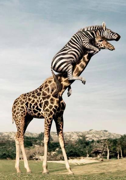 Зебра и жираф