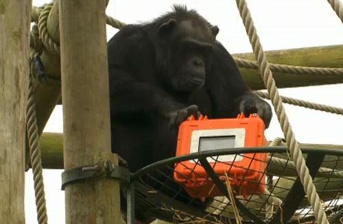 Първият филм, заснет от шимпанзета