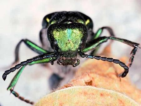 Испанска муха