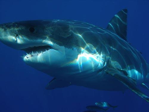 Голяма бяла акула