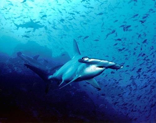 Акула-чук