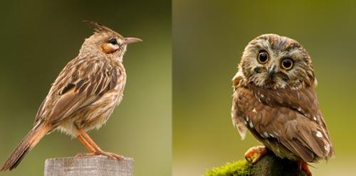 Чучулига и сова